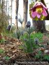 Сон чорніючий, сон-трава чорніюча (Pulsatilla nigricans Storck). Фото Іноземцевої Д.