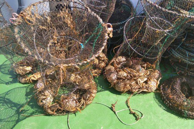 Після нашого звернення майже 700 червонокнижних крабів визволили зі 100 браконьєрських пасток!